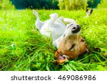 Jack Russell Dog Relaxing And...