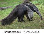 Giant Anteater  Myrmecophaga...