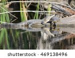 Small photo of Alligator with Turtle Can't we all get along
