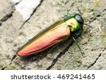 agrilus planipennis   emerald... | Shutterstock . vector #469241465