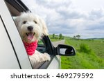 bichon frise looking out of car ... | Shutterstock . vector #469279592