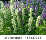 Small photo of Agastache rugosa and Agastache urticifolia is a medicinal and ornamental plant. Lamiaceae family