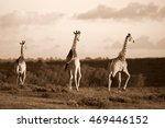 a herd of giraffe walking... | Shutterstock . vector #469446152