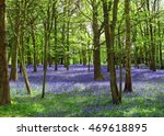 Bluebells In A Wood In Kent Uk...