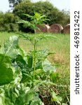 Small photo of Ragweed (Ambrosia artemisiifolia) on the outskirts of the beet field.