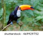 Colorful Toucan At Iguazu Fall...