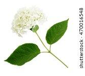 Hydrangea Flower Isolated On...
