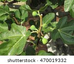 green figs ripening on a fig