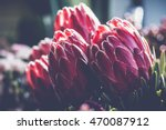 Bunch Of Protea Aristata