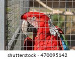 Red Macaw In Birdcage. Brightl...
