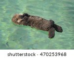 Stock photo a southern sea otter pup sleeps in a shallow cove in monterey california 470253968