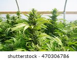 large nugs grow on a group of... | Shutterstock . vector #470306786