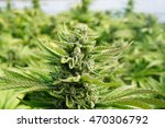 marijuana being grown for... | Shutterstock . vector #470306792