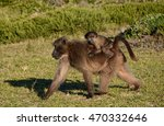 A Chacma Baboon Mother Foragin...