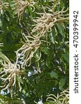Small photo of American chestnut flowers (Castanea dentata)