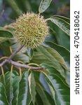 Small photo of American chestnut fruit (Castanea dentata)