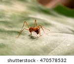 Small photo of Acromyrmex on the big green leaf plants. Unusual insect - huge spikes and powerful jaw ant