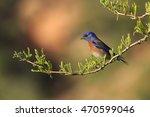 Male Western Bluebird In Utah