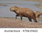 Small photo of Capybara leaving river all wet