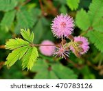 Sensitive Plant  Flowers ...