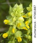 Small photo of This plant with yellow flowers (Rhinanthus alectorolophus) is often misled with nettle