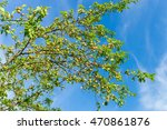 Sunny Apple Tree Top With...