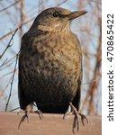 Blackbird Female With Brown...
