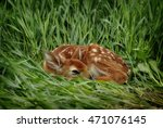 A Fawn Resting In High Grass