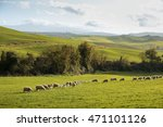 A Flock Of Sheep Grazing On Th...