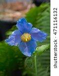 Blue Himalayan Tibetan Poppy ...