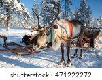 Reindeer In Lapland  Finland.