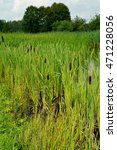 Small photo of Wild swimming - Acorus - cattail bush