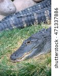 Small photo of American alligator resting on grassy surface