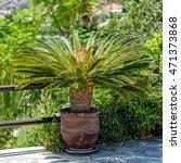 Female Sago Palm  Cycas...