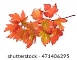 foliage of maple leaf isolated... | Shutterstock . vector #471406295