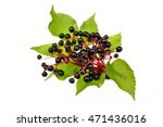 Twig With Elderberries And A...