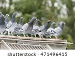 Group Of Messenger Pigeons...