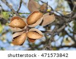 Small photo of Almond, four almond on tree, cultivation