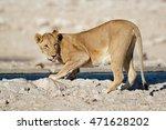 Lioness  Panthera Leo  Drinkin...