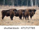Herd Of Aurochs Grazing On The...