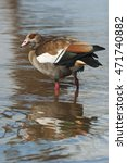 Small photo of Egyptian Goose, Alopochen aegyptiaca, Kruger National Park, South Africa