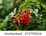 Rowan Berries In The Rain. The...