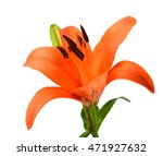 Beautiful Lily Flower Over...