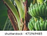 A Bundle Of Young Banana On...