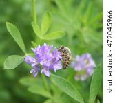 Small photo of Isolated alfalfa flower with honey bee.