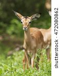Small photo of Impala, Aepyceros melampus, young, Kruger National Park, South Africa