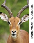 Small photo of Impala, Aepyceros melampus, male, Kruger National Park, South Africa