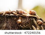 Group Of Snails Enjoying Stump.