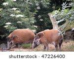 Red River Hogs And Elder Blossom