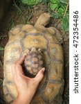 Small photo of AFRICAN SPURRED TORTOISE , TORTOISE
